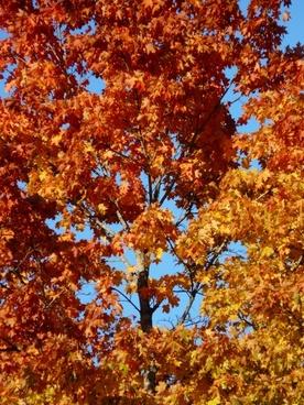 autumn forest tree maple