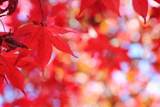 autumn leaf color hirosaki aomori japan