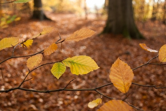 autumn leaves beech