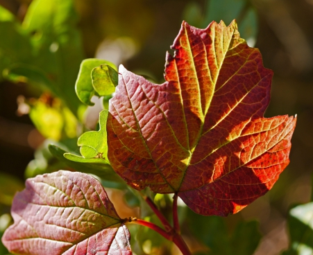 closeup of red leaves under sunlight
