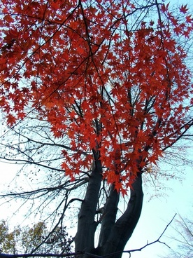 autumn maple leaves coloring