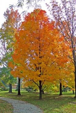 autumn maple tree in park