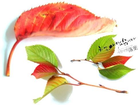 autumn red deciduous series psd 2