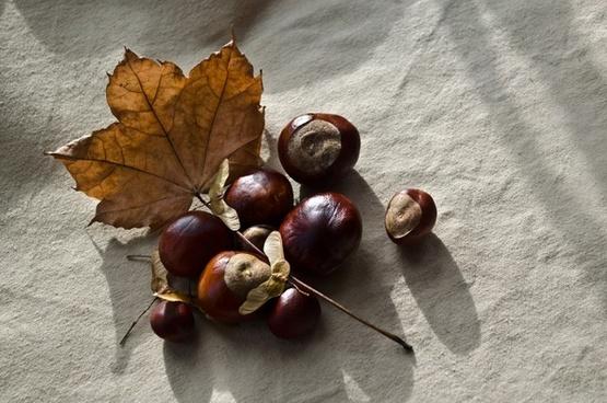 autumn season chestnut