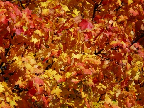 autumn tree coloring red
