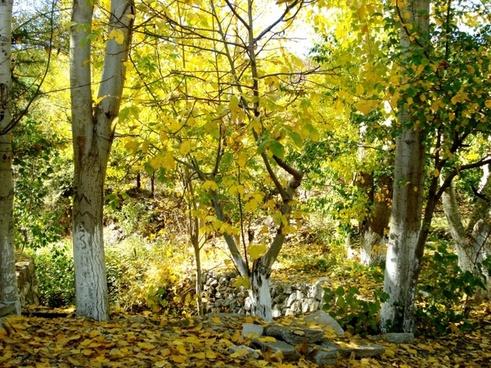 autumn tree yellow