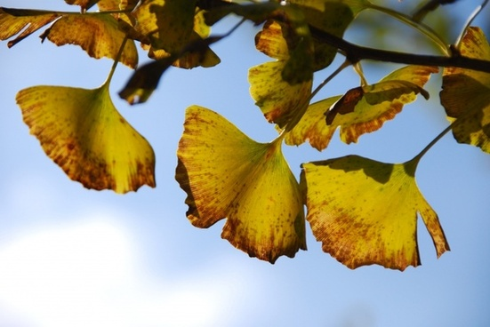 autumnal leaves ginkgo biloba autumn