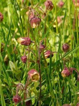 avens pointed flower flower