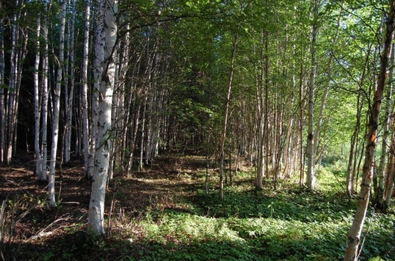 avenue of birch trees