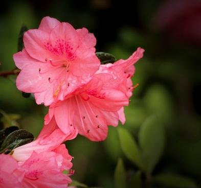azalea coral bells rhododendron kurume pink azaleas