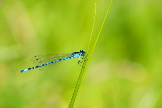 azure damselfly damselfly insect