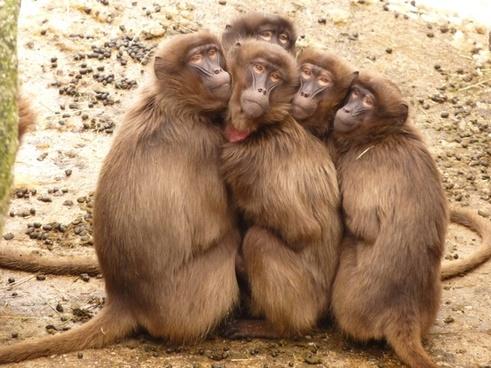 baboons monkey mammal