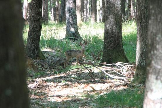 baby deer forest