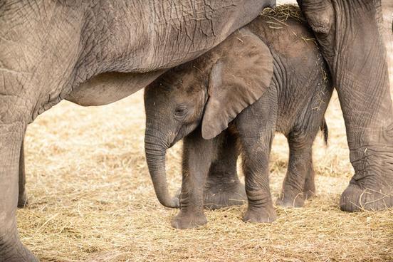 baby elephant hiding