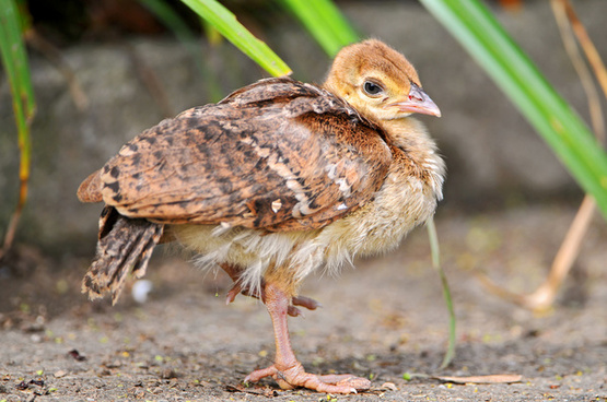 baby peafowl