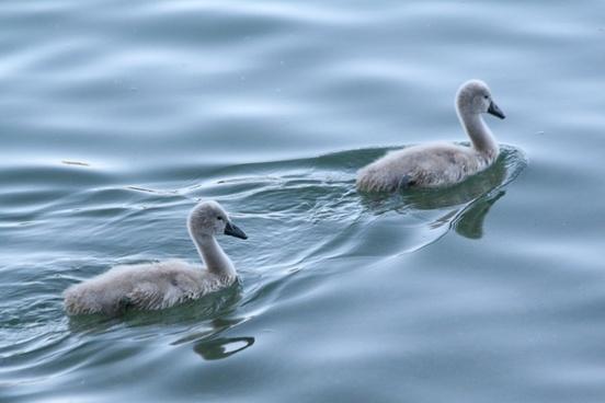 baby swan baby swans swan