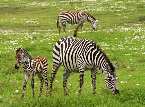 baby zebra safari serengeti