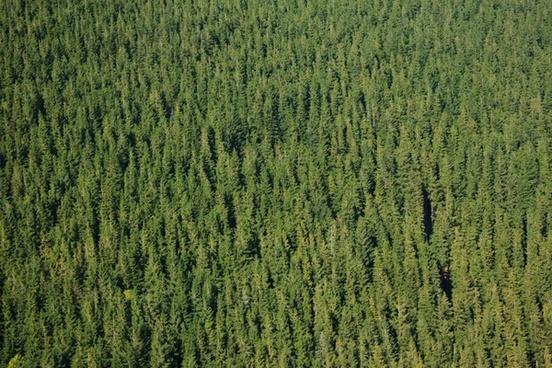 background coniferous evergreen