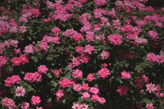 background rose roses