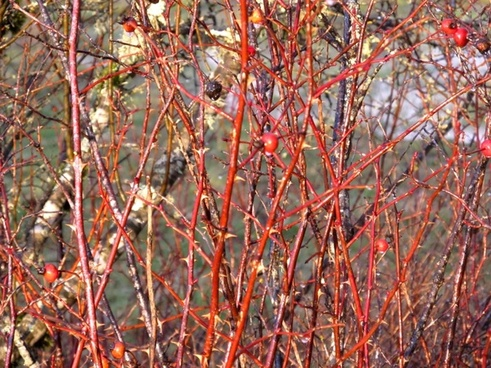 background thorns and berries