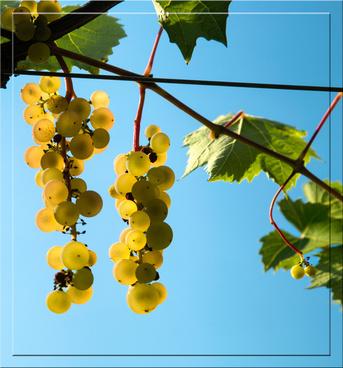 backlit grapesjpg
