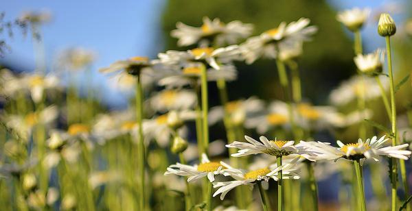 backyard daisies