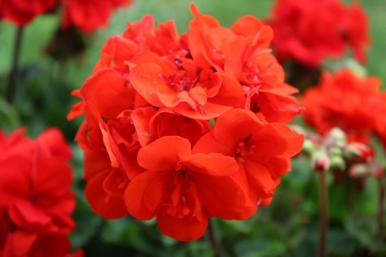 balcony flower red