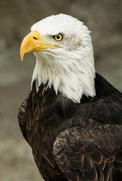 bald eagle bird predator