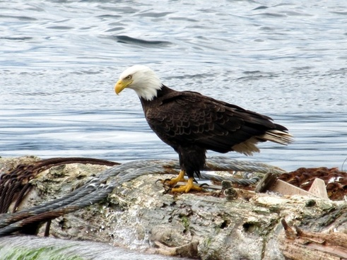 bald eagle eagle sea eagle