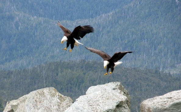 bald eagle eagles