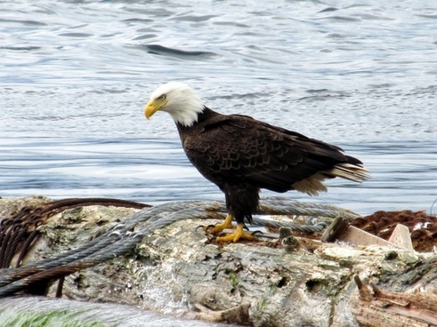 bald eagle on a log