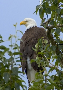 bald eagle tree branch