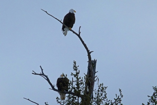 bald eagles tree landed