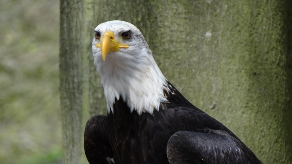 bald eagles usa raptor