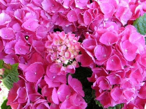 bale stock hydrangea pink