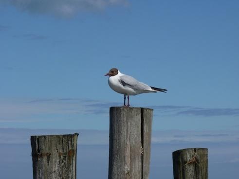 baltic sea gull dar�
