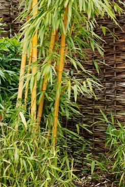 bamboo at garden