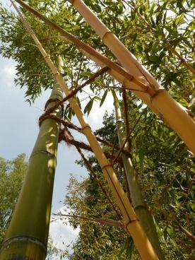bamboo bamboo garden aureocaulis