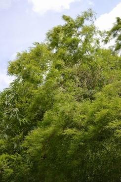 bamboo bamboo leafs leafs