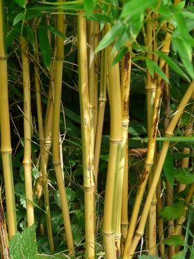 bamboo bamboo rods gold bamboo tube