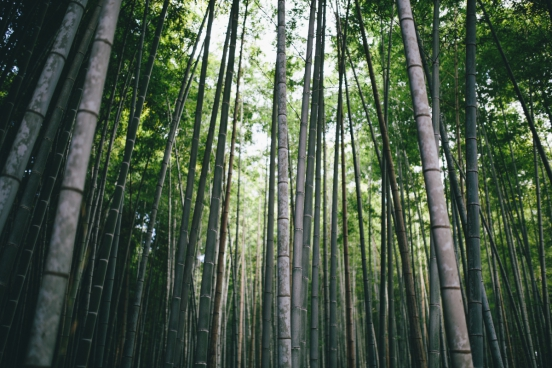 luxuriant tall bamboo forest