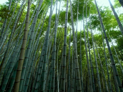 bamboo forest bamboo green