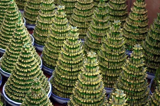bamboo tree cones