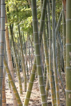 bamboo yellow bamboo vs grove