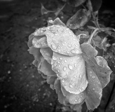 bampw rose