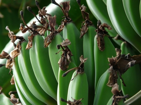 banana bunch bananas shrub