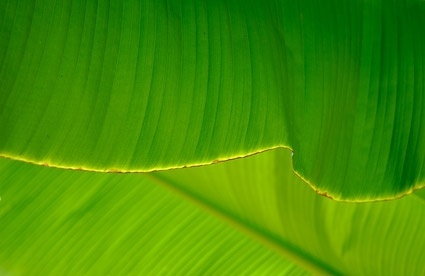 banana leaf quality picture 2