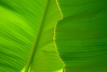 banana leaf quality picture 3
