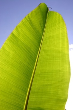 banana leaf quality picture 4
