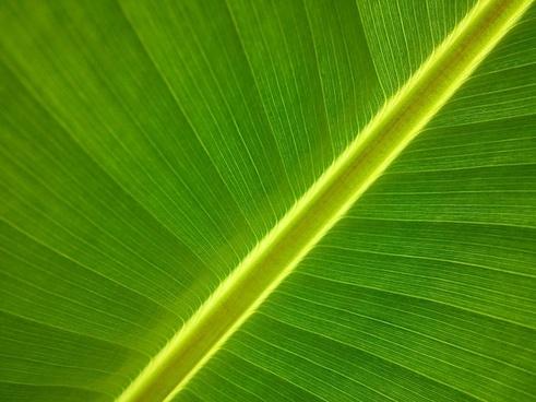 banana tree garden leaf